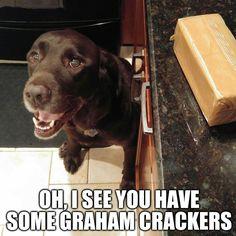Yum! I love graham crackers! Chuckie the Chocolate Lab #TeamChuckie