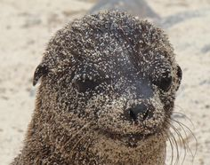 Have I got sand on my face? Baby sea lion, Galapagos Islands...(I want to visit these Islands!)  Dawnvision~