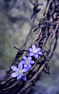 A crown of thorns - Grace blooming in a hard and barren place such is my saviours love for me.