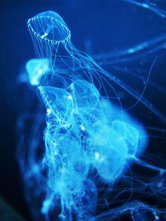 jellyfish - クラゲ