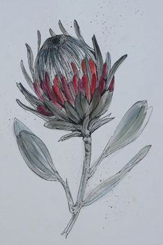 I am really encouraged by how much South Africans are embracing our own culture and inspiration and celebrating what is proudly South Afri. Botanical Drawings, Botanical Illustration, Botanical Prints, Illustration Art, Illustrations, Protea Art, Protea Flower, Watercolor Flowers, Watercolor Art