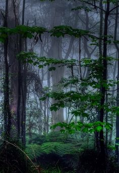Fog | Mist | Forest | Trees