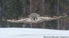 Great Grey Owl hunting Lapland Finland by Jari Peltomäki on Spotted Owl, Nocturnal Birds, Strix Nebulosa, Tawny Owl, Lapland Finland, Barred Owl, Great Grey Owl, Most Beautiful Birds, Four Legged