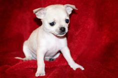 Born 10/28/13 Bree is a Maltese/Chi mix who we are now accepting applications for and we hope to have adopters approved by Christmas. She will be ready to go home in mid January! Tessa and Bree are nearly identical - they are both white/cream...