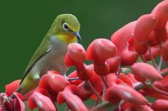 xiamen birds 002 | Japanese White-eye (Zosterops japonicus) | Henry Koh | Flickr