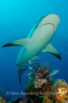 Caribbean reef shark ignores the volitan lionfish as it cruises over the reef.