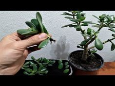 In this video I am going to show you how to grow Jade plant from cutted leaves or branch. First you need to cut the leaves or the branch from the flower. Jade Plant Bonsai, Jade Plants, House Plants Decor, Plant Decor, Succulent Gardening, Container Gardening, Jade Plant Care, Humus Soil, Plant Cuttings