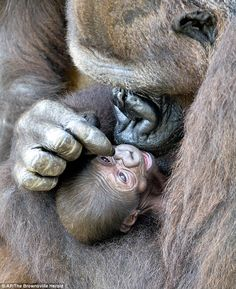 Love in her eyes: Martha the western lowland gorilla tenderly embraces her two-week-old baby at Gladys Porter Zoo in Texas yesterday