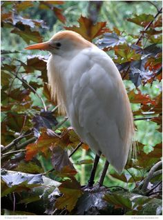 Demure Cattle Egret