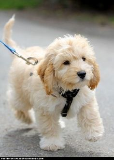 Cavapoo (Cavalier King Charles Spaniel and Poodle mix) omg so cute and would go so well with my adorable cockapoo Chien Goldendoodle, Cockapoo Puppies, Cute Puppies, Cute Dogs, Dogs And Puppies, Doggies, Baby Dogs, Labradoodle Dog, Teddy Bear Puppies