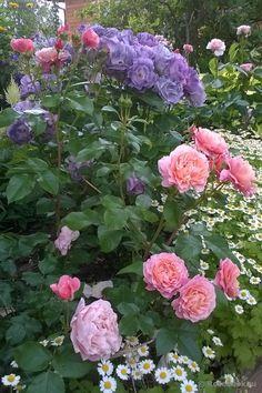 Beautiful Rose Flowers, Romantic Flowers, All Flowers, Flowers Nature, Beautiful Gardens, Rose Companion Plants, Cottage Garden Plants, Good Morning Flowers, Gardening