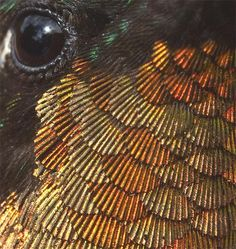 Close-up of a male hummingbird. The feathers look like scallops.