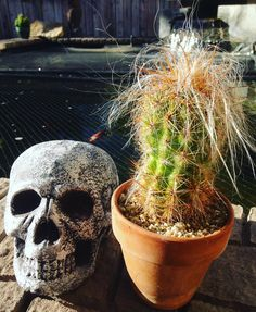 Cactus of the Day. Happy Halloween with Oreocereus Celsianus AKA Old Man of the Andes. A must have for every collection. With sharp spines and rock star long hair.  From the Alegria Cactus Collection  Enjoy  #cactus#cactushoarder #cactushouse #cactuslife #cactusmovement #cactusmagazine #alegriacactuscollection #waterwise #waterwisegardening #cactuslover by cactus_jon #waterwise #waterwisegardening #drought #droughttolerant