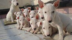 Bull Terrier hobby