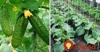 Na Marka uhorka do jarka: 10 cenných rád, s ktorými dopestujete bohatú úrodu a uhorky nezhorknú! Herbs, Gardening, Vegetables, Flowers, Greenhouses, Plants, Lawn And Garden, Herb, Vegetable Recipes