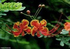 Caesalpinia pulcherrima - Peacock Flower - Ajaytao