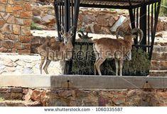 Caucasian tur Mountain Goat