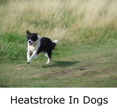 What are the symptoms of heatstroke in dogs?