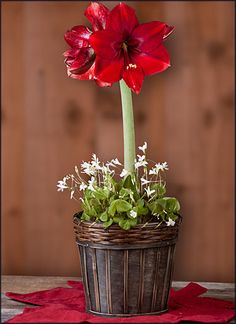 Amaryllis Ferrari and Oxalis Regnelli in a Red Washed Splitwood Round Basket - FREE Shipping!  $39.95 http://www.easytogrowbulbs.com/p-1747-amaryllis-ferrari-and-oxalis-regnelli-in-a-red-washed-splitwood-round-basket-free-shipping.aspx