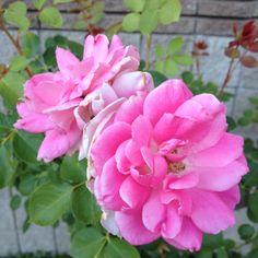 Community Center Rose Garden