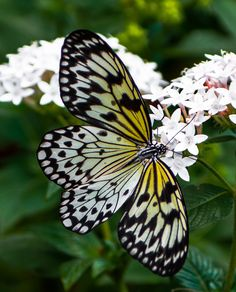 ~~Butterfly 4 by Lou Lu~~