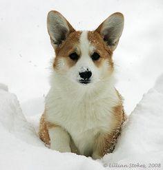 Welsh Corgi in the snow