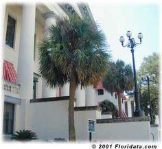 Sabal palmetto, Cabbage palms
