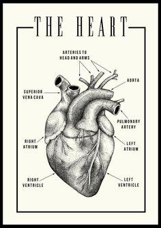Anatomy Drawing Medical Anatomical heart illustration Black/Ivory Printed on silk paper - Anatomy Art, Human Anatomy, Heart Anatomy Drawing, Human Figure Drawing, Human Heart Drawing, Human Heart Tattoo, Heart Poster, Heart Illustration, Medical Illustration