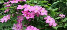 Image result for clematis comtesse de bouchaud
