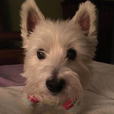 Mom! It's past Kosmo's bed time. Doesn't he know that we have to work tomorrow? Puppies!Kaspar #bedtime #nitenite #bigbrotherproblems #seniorwestie #westiegram #westiesofinstagram #westhighlandwhiteterrier #westie #whwt #lacyandpaws by kasparandkosmo