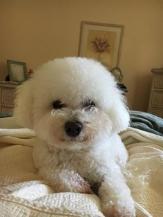 Meet Ella, an adoptable Bichon Frise looking for a forever home. If you're looking for a new pet to adopt or want information on how to get involved with adoptable pets, Petfinder.com is a great resource.