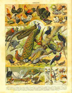 1910s Vintage Print Birds Ornithology by CarambasVintage on Etsy, $16.00