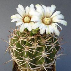 Gymnocalycium ferox v. ferocior (G. castellanosii castellanosii)