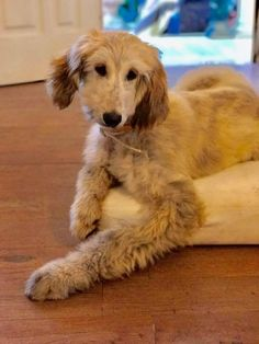 Afghan Hound Puppy, Hound Puppies, Young Adults, Afghans, Mans Best Friend, Hot Dogs, Angels, Babies, Animaux