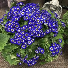 This cineraria plant really is that blue and smells amazing. Classy Nail Art, Downers Grove, Gardening, Amazing, Plants, House, Instagram, Ideas, Home