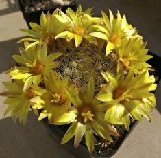 Mammillaria baumii.