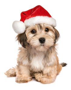 Cute puppy, if you have decided to get a puppy this Christmas, please make sure you socialise and train your puppy to the highest standard to prevent adolescent problems. Www.dog-trainer.co Havanese Puppies, Cute Puppies, Cute Dogs, Dogs And Puppies, Havanese Grooming, Doggies, Christmas Puppy, Christmas Hat, Christmas Animals