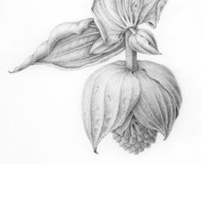 botanical drawings graphite - Google Search