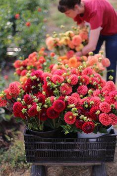 Floret Flower Farm Dahlias ... does it get any prettier!!