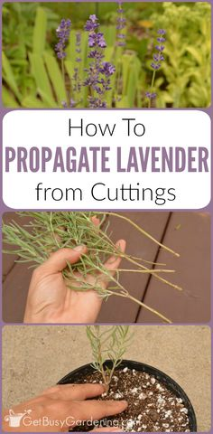 How To Propagate Lavender Plants From Cuttings Propagating lavender is easy. Plus, once you learn how to propagate lavender plants from your garden, you'll be able to grow as much lavender as you want! – THIS IS GREAT TO KNOW AS I LOVE LAVENDER! Growing Lavender, Herbs, Plants, How To Propagate Lavender, Lavender Plant, Organic Gardening Tips, Propagating Plants, Plant Care, Container Gardening