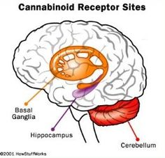 Diagram of cannabinoid receptor sites in the human brain.