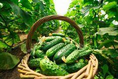 Diet And Nutrition, Vegetable Garden, Pickles, Cucumber, Vegetables, Green, Window, Gardening, Sodas