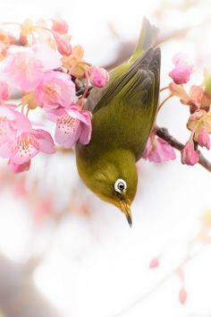 BIRD --Japanese Whiteeye.