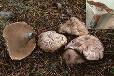Sarcodon scabrosus