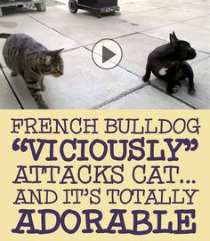 """French Bulldog """"viciously"""" attacks cat... and it's TOTALLY adorable!!!"""