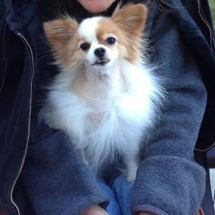 Reiki For Dolly the Mini Papillion, Cancer Free!