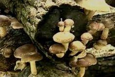 Growing Mushrooms – A Beginners Guide