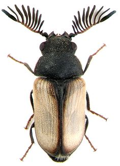 all righty then, another bug to identify... yep, this is your \'black-ferned-antennae, black/gold/silver bug\'... I could have thrown in \'six-legged\' but the name was already getting pretty long - I like to be very specific when I\'m naming bugs...