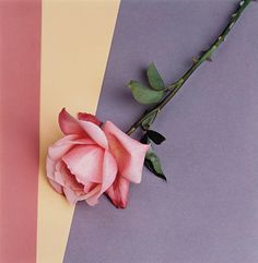 Rose By Robert Mapplethorpe, 1987