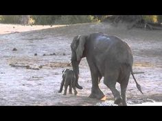 Here's a rather comical little spat between an elephant mother and her baby — one that anyone who's ever raised a child can relate to. The pachyderm pair had been enjoying a dip in a watering hole in Zimbabwe's Hwange National Park when, with the sun setting, mom decided that bath time was over. Her baby, on the other hand, clearly disagreed.